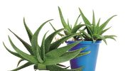 Aloes i jego właściwości