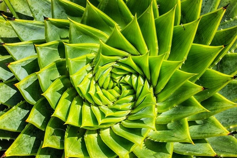 Aloes ma szereg właściwości /©123RF/PICSEL
