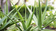 Aloes: Zbawienie dla skóry