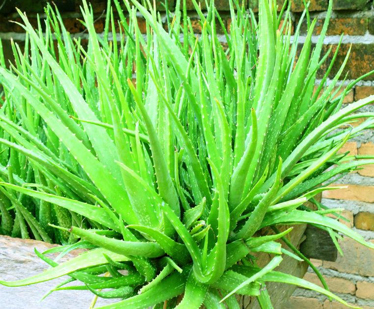 Aloes zwyczajny /©123RF/PICSEL