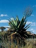 Aloes /Encyklopedia Internautica