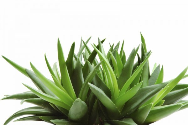 Aloes /© Photogenica
