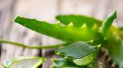 Aloesowe kuracje dobre dla skóry i jelit