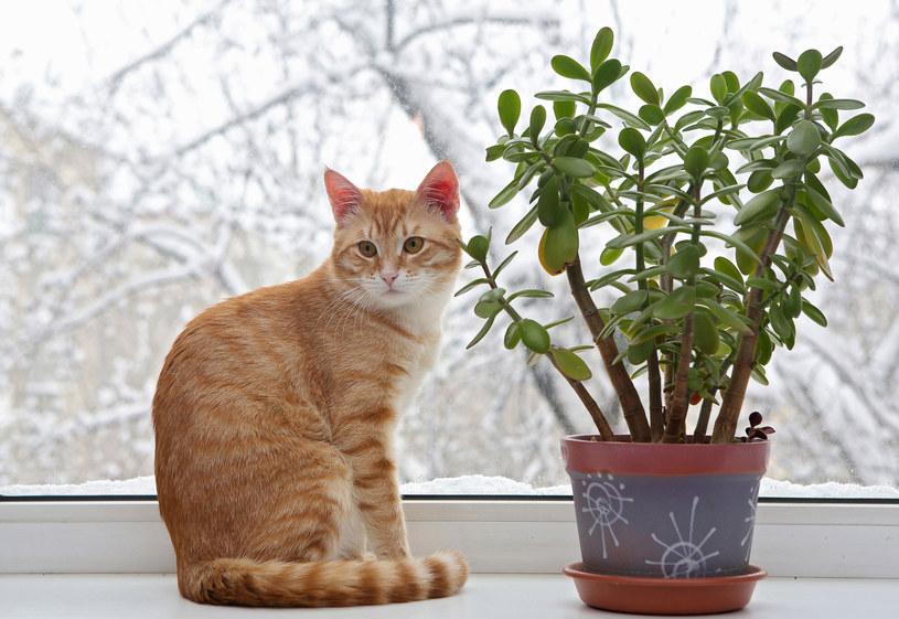 Alokazja, fikus zapomnij o tych roślinach jeżeli kot jest w domu /Picsel /123RF/PICSEL