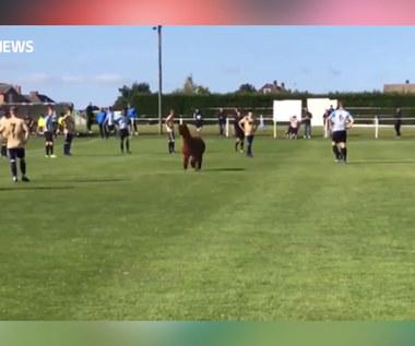 Alpaka na boisku. Piłkarze byli w szoku. Wideo