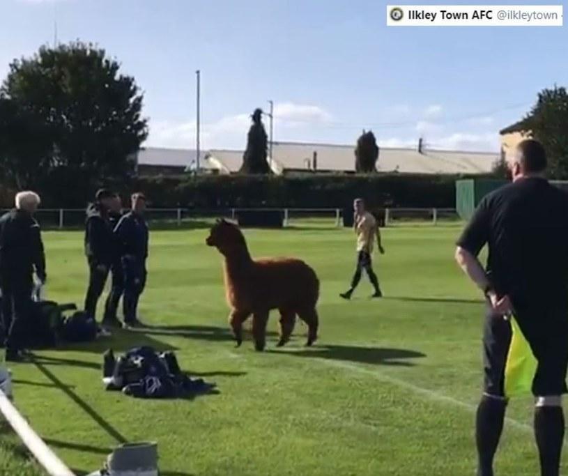 Alpaka przeszkodziła w meczu pomiędzy Carlton Athletic i Ilkley Town./ Źródło: Twitter /