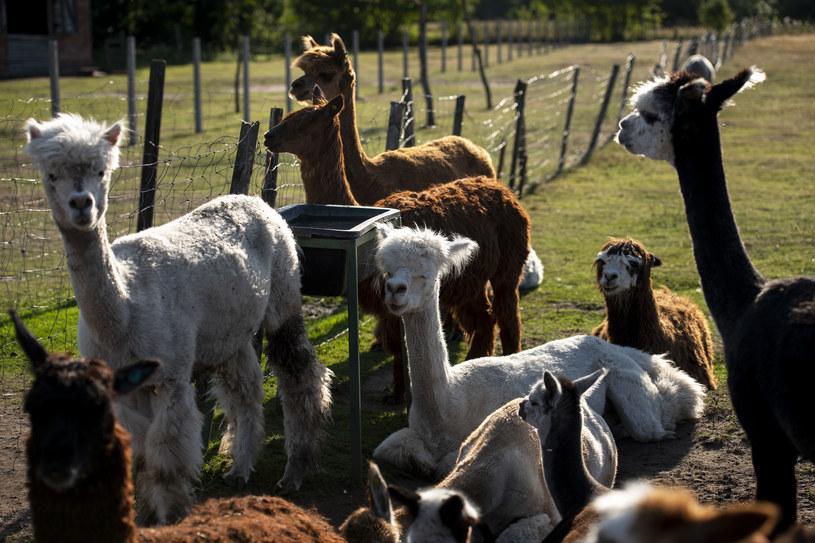 Alpaki, zdjęcie ilustracyjne /Agencja Wschód /Agencja FORUM