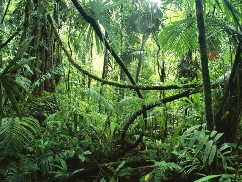 Amazonia uratowana - przyczyniła się do tego także Norwegia /materiały prasowe