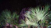 Amerykański kuzyn Yeti: Na tropie śmierdzącej małpy