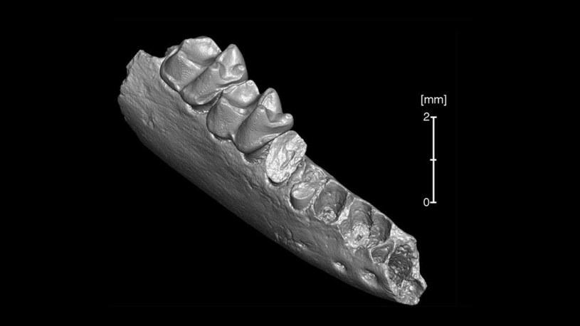 Analiza tych zębów wykazała, że Teilhardina brandti jest równie stary co azjatycki kuzyn /materiały prasowe