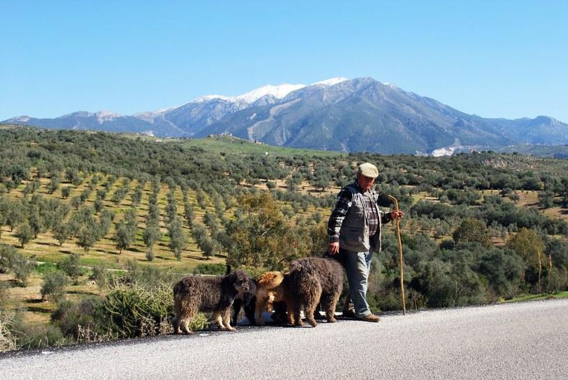 Andaluzyjscy pasterze od wieków raczą się tym przysmakiem /123RF/PICSEL