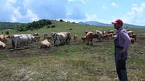 """""""Prawdziwa plaga"""". Chorwaccy rolnicy atakowani przez hordy chronionych gatunków wilków"""