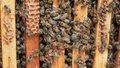 """""""Rolnicy"""": Tak rozmnaża się pszczela rodzina"""
