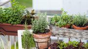 Aneta Kuroń o hodowaniu świeżych ziół na balkonie