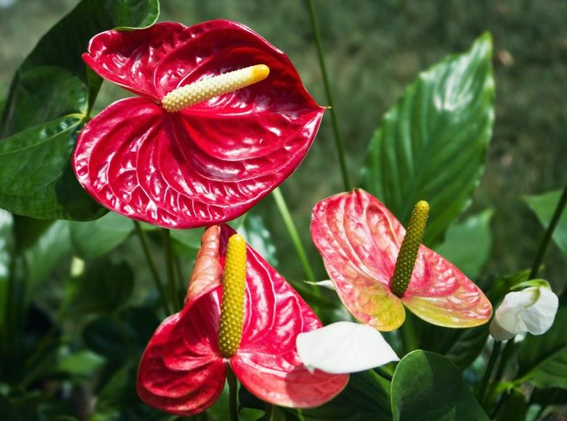 Anturium można hodować w doniczce, ale jest też częstym kwiatem spotykanym w różnych wiązankach /123RF/PICSEL