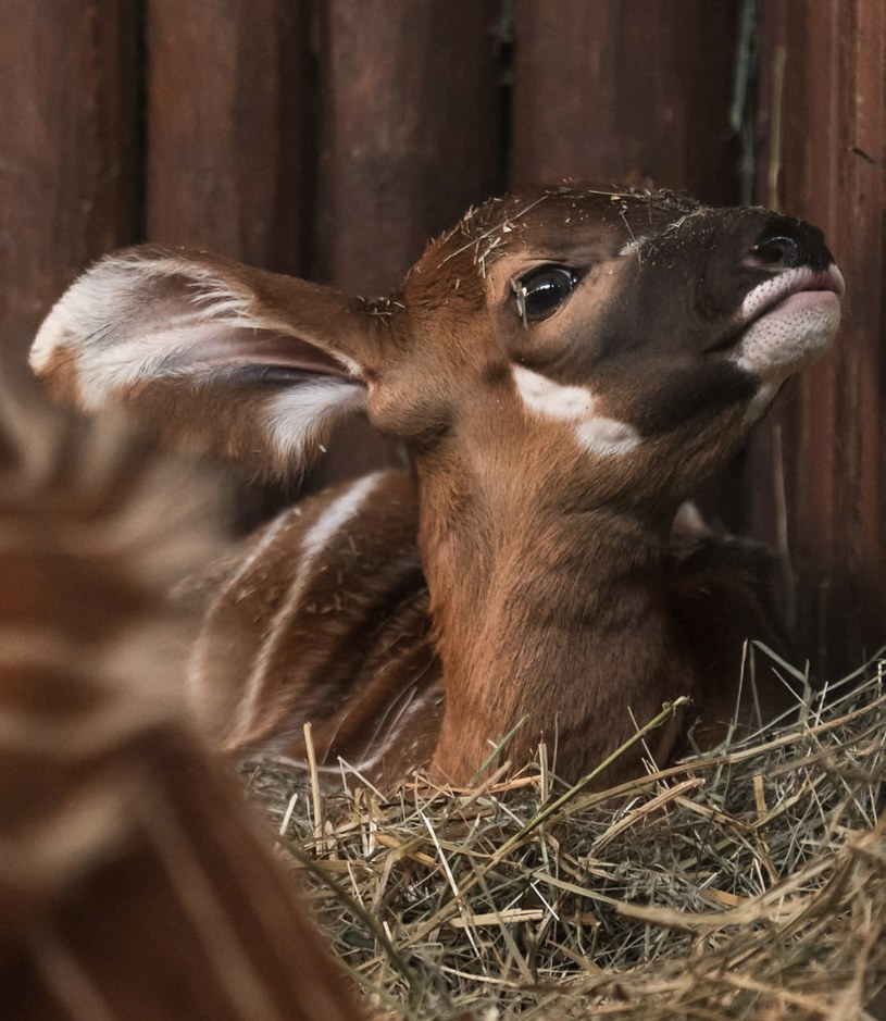 Antylopa bongo /Warszawskie zoo /facebook.com