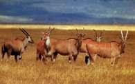 Antylopy eland /Encyklopedia Internautica