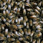 Apokalipsa pszczół dotarła do Polski