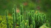 Apteka przyrody: widłak goździsty