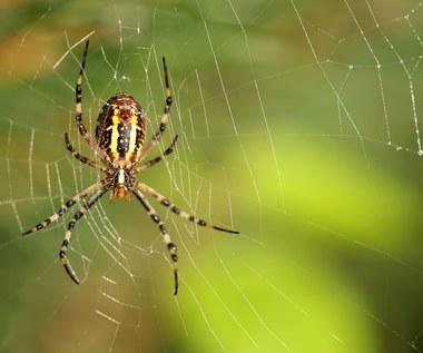Arachnofobia - nieracjonalny strach przed pająkami