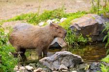 Argentyna: Kapibary na luksusowych osiedlach. Deweloperzy kontra przyroda