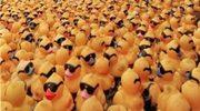 Armada kaczek ciągnie na Wlk. Brytanię