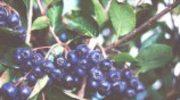 Aronia rośliną leczniczą roku