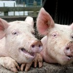 ASF: Czarne chmury nad rynkiem wieprzowiny