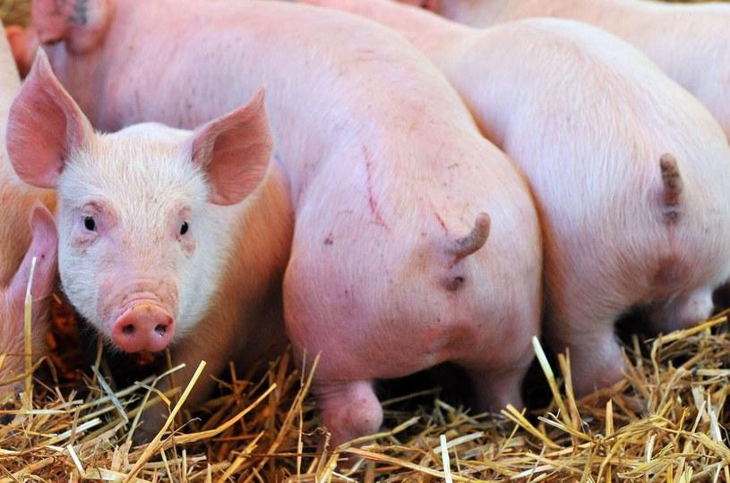 ASF grożny dla hodowli trzody chlewnej