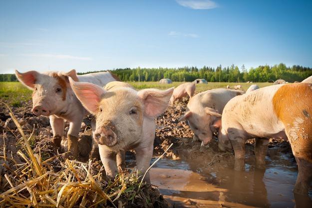 ASF jest prawie w 100 proc. śmiertelny dla świń domowych i dzików /©123RF/PICSEL