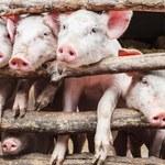ASF: Pierwszy w tym roku przypadek afrykańskiego pomoru świń