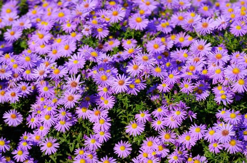 Astry to kwiaty bardzo popularne w Szwecji /123RF/PICSEL