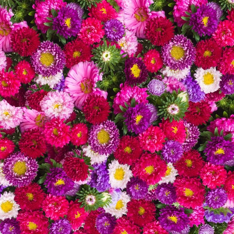 Astry wolą nieco żyźniejsze podłoże, ale jeśli będziesz je często podlewać i raz na 3 tygodnie nawozić, mogą kwitnąć aż do przymrozków. /123RF/PICSEL