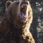 Atak niedźwiedzia. Ojciec zachował się jak bohater!