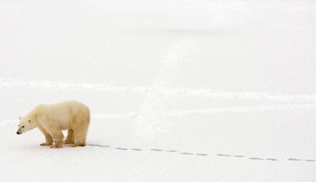Ataki niedźwiedzi polarnych nie są rzadkością /AFP