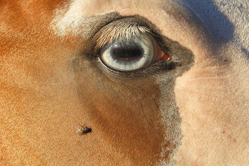 Atakuje zwierzęta i ludzi /©123RF/PICSEL