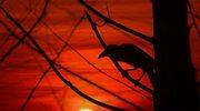 Atrybut czarnoksiężników - kruk