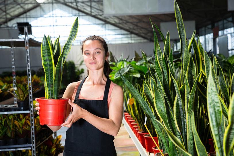 Atutem rośliny jest nie tylko wytrzymałość, ale też właściwości oczyszczania powietrza /123RF/PICSEL