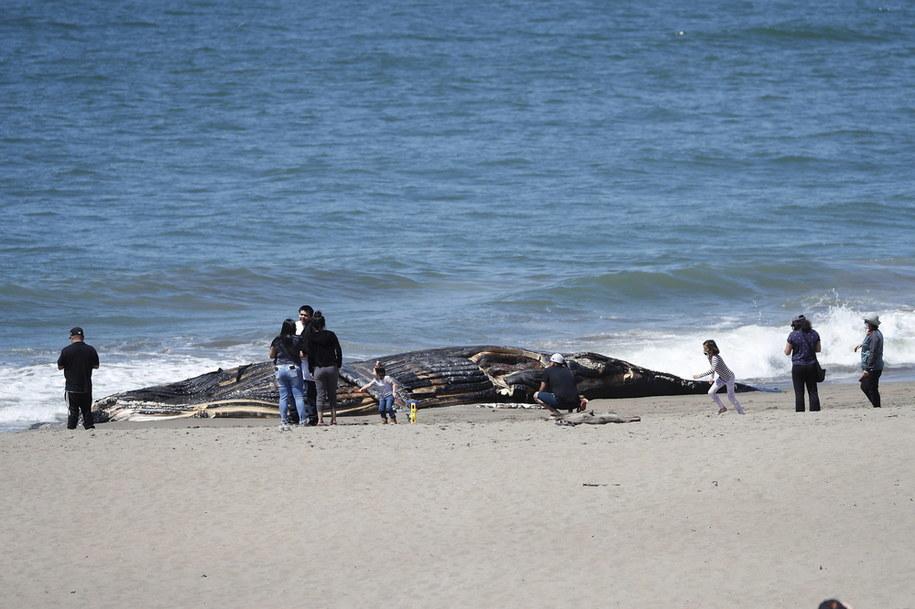 Australia: Około 270 waleni utknęło na mieliźnie u wybrzeży Tasmanii. Zdjęcie ilustracyjne /JOHN G. MABANGLO /PAP/EPA