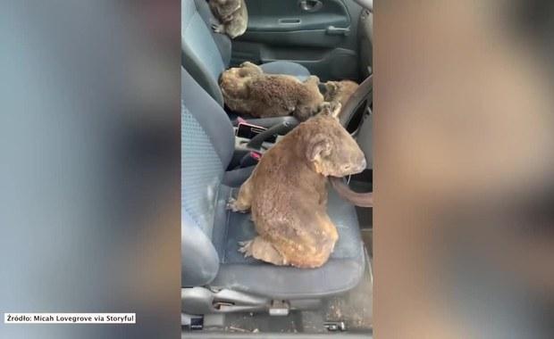 Australia płonie. Misie koala schroniły się w aucie przed pożarami