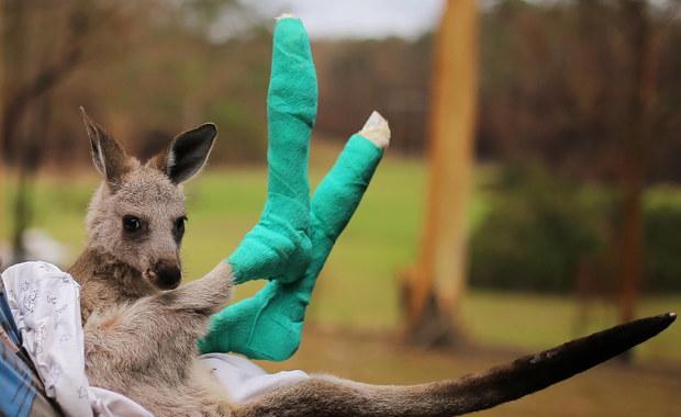 Australia: Prawie 3 mld zwierząt zginęło lub ucierpiało w pożarach buszu