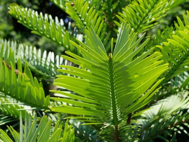 Australia: Tajna misja ratowania z pożarów prehistorycznych gatunków drzew /Steffen Hauser /PAP/DPA