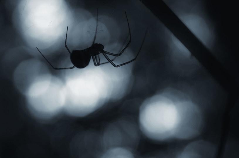 Australijczycy stworzyli aplikację do identyfikacji pająków i węży /123RF/PICSEL