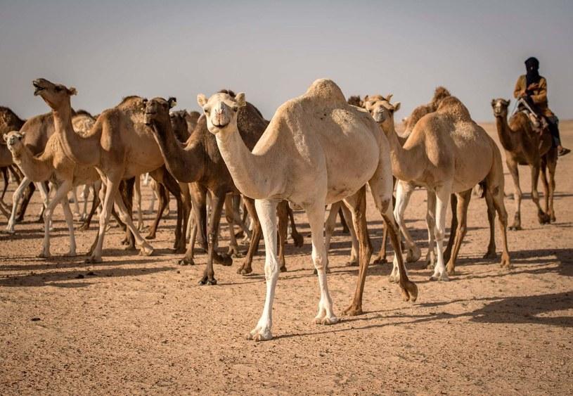 Aż 10 tysięcy wielbłądów ma zostać odstrzelonych w Australii /AFP