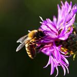 Aż 75 proc. światowych zasobów miodu skażona pestycydami