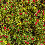 Azalia: Jak pielęgnować, żeby pięknie rosła