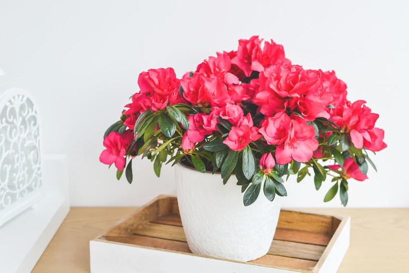 Azalia może zimą szybko stracić kwiaty! /123RF/PICSEL