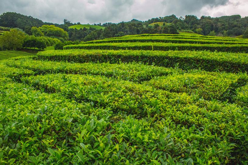 Azorskie plantacje herbaty są unikatowe w skali kontynentu /123RF/PICSEL