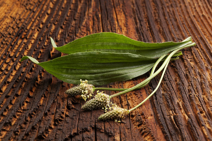 Babka lancetowata to naturalny antybiotyk /©123RF/PICSEL