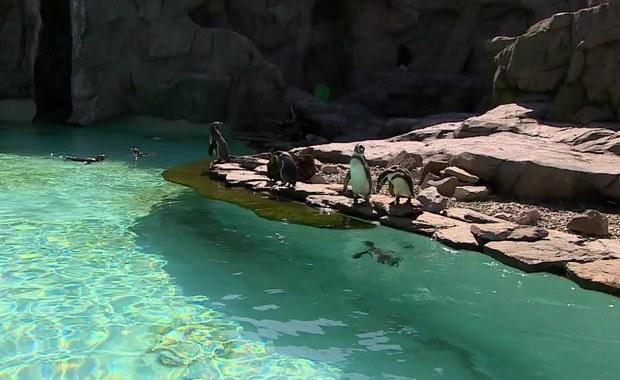 """""""Baby boom"""" w krakowskim zoo. Na świat przyszły pingwiny i zebra"""